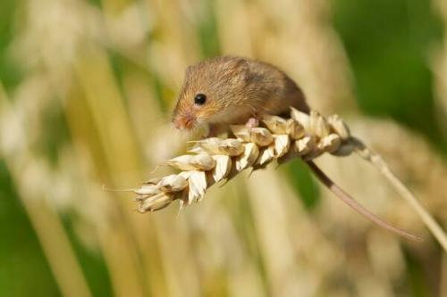 harvest mouse by Richard Bowler